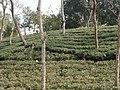 Tea gardens Srimangal Sreemangal Upazila Moulvibazar Maulvibazar Moulavibazar Sylhet 08.jpg