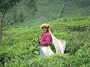 Tea picker in Nilgiris