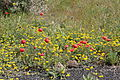 Teguise Los Valles - LZ-10 - Papaver rhoeas+Lotus lancerottensis 01 ies.jpg