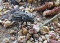 Tenebrionidae unidentified IMG 2696s.JPG