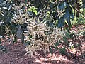 Terminalia paniculata - Kindal Tree flowers at Blathur 2017 (1).jpg