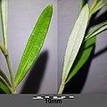 Teucrium montanum sl8.jpg