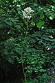 Thalictrum aquilegiifolium (3) (8824880328).jpg