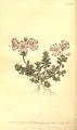 The Botanical Magazine, Plate 488 (Volume 14, 1800).png