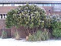 The Strawberry Tree (Arbutus unedo) - geograph.org.uk - 1671801.jpg