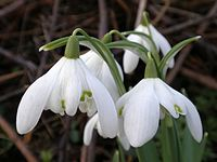 The Washbrook Lane Snowdrops.jpg