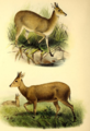 The book of antelopes (1894) Cephalophus grimmi.png