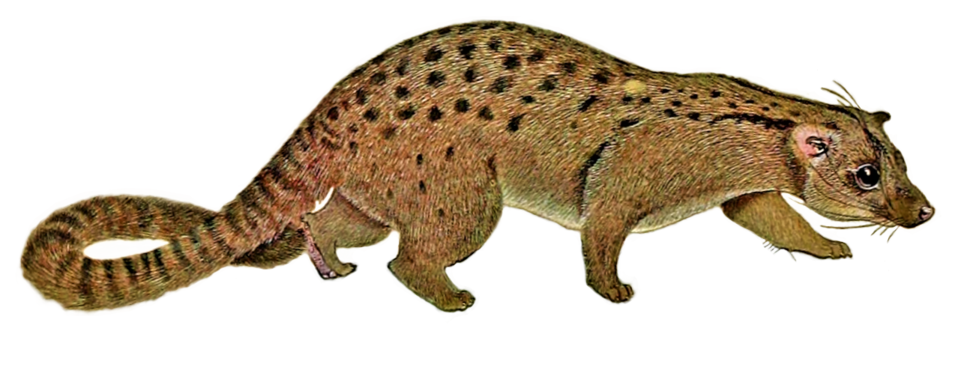 The carnivores of West Africa (Nandinia binotata white background)