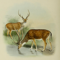 The deer of all lands (1898) Chital.png