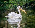 The great indian white pelican.jpg
