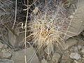 Thelocactus bicolor (5669427822).jpg