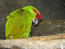 Thick-billed Parrot.jpg