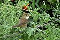Thick-billed Warbler DSC9769.jpg