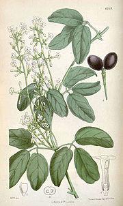 Thiselton-Dyer Jasminum-didymum-1878