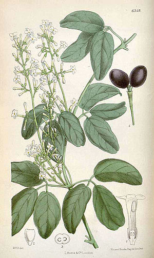 Harriet Anne Thiselton-Dyer - Illustration of Jasminum didymum by Harriet Anne Thiselton-Dyer for Curtis's Botanical Magazine, 1878.