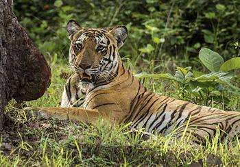 Tiger Kabini.jpg