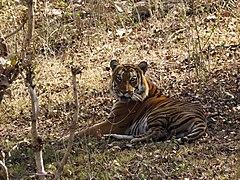 Tiger Resting Mudumalai Mar21 DSC01313.jpg