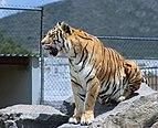 Tiger tuzoofari2018p4.jpg