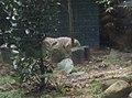Tigers in Zoo Negara Malaysia (23).jpg