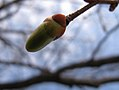 Tilia japonica, bud 01.jpg