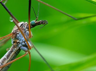 Crane fly - The thorax of a crane fly