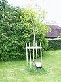 Tree, Upper Farringdon - geograph.org.uk - 1343605.jpg
