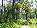 Tree Arch - panoramio.jpg
