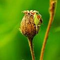 Tree cricket.jpg