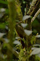 Trepatroncos Corona Punteada, Spot Crowned Woodcreeper, Lepidocolaptes affinis (16785903759).jpg