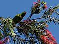 Trichoglossus chlorolepidotus -on Bottle-brush tree-8.jpg