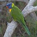 Trichoglossus moluccanus, Urimbirra Wildlife Park, Victor Harbor, South Australia.jpg
