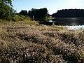 Trifolium arvense (subsp. arvense) sl22.jpg