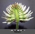 Trifolium montanum (subsp. montanum) sl14.jpg