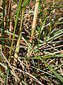 Triodia mitchellii stem.jpg