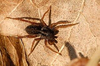 <i>Trochosa</i> genus of arachnids