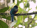Trogon collaris (male) -NW Ecuador-4.jpg