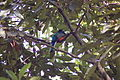 Trogon surrucura -male-3.jpg