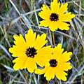 Trois Coreopsis (5191052318).jpg