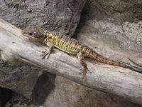 Tropical Girdled Lizard P9240103.JPG
