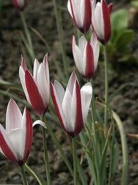 Tulipa clusiana1ScottZona