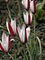 Tulipa clusiana1ScottZona.jpg