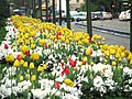 Tulips by the road (2421835728).jpg