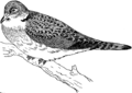 Turtle Dove (PSF).png