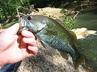 Redeye bass species of fish