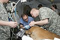 US Navy 110222-N-KF478-102 Dental officers prepare a sedated U.S. Customs and Border Protection working dog for a root canal.jpg