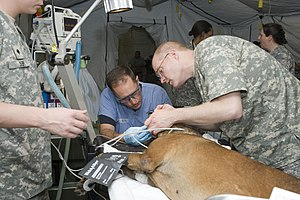 Paraveterinary workers - Image: US Navy 110222 N KF478 102 Dental officers prepare a sedated U.S. Customs and Border Protection working dog for a root canal