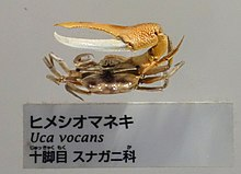 Uca vocans - National Museum of Nature and Science, Tokyo - DSC07545-002.JPG