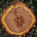 Umgestürzter Pflaumenbaum Stamm-9422.jpg