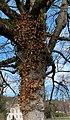 Un arbre de La Sathonette (Saint-Maurice-de-Beynost) en 2020.jpg
