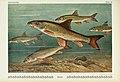 Unsere Süßwasserfische (Tafel 36) (6102603473).jpg